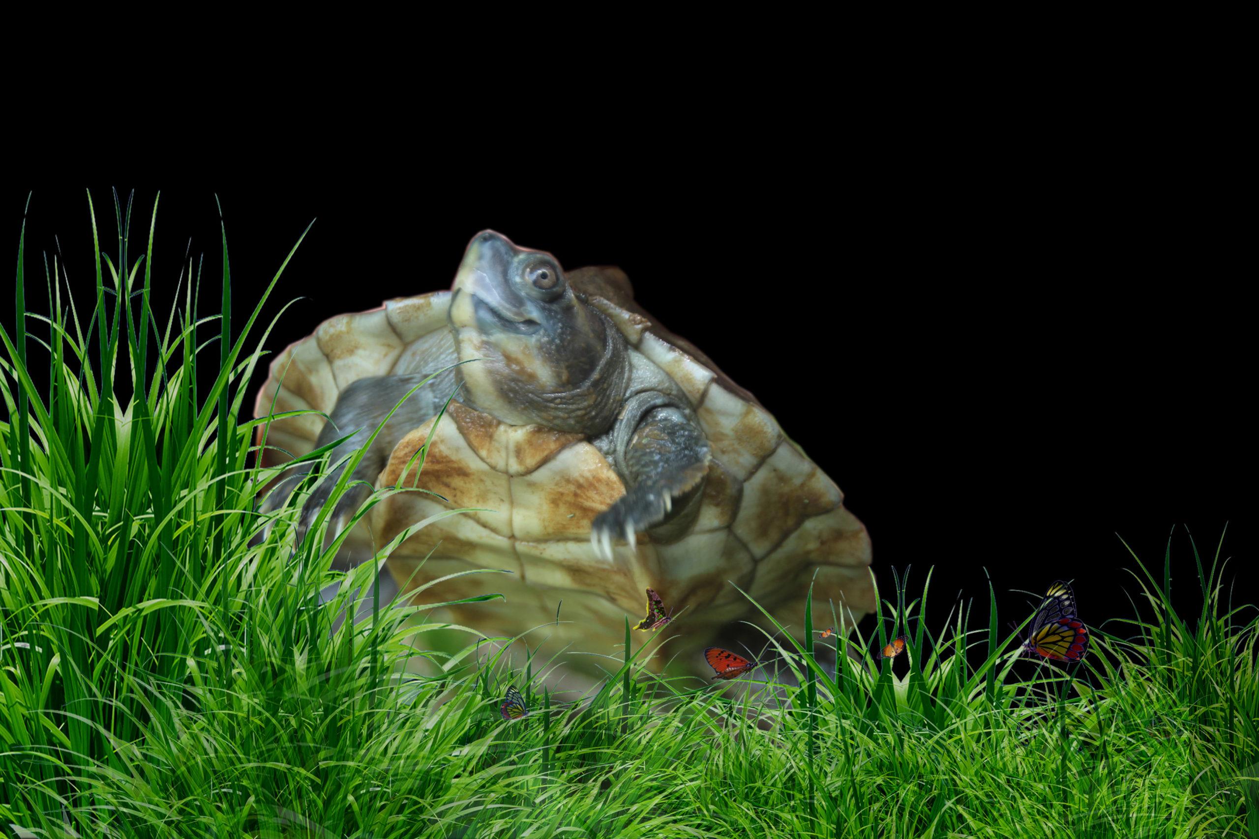 Myanmar Roofed Turtle Mandalay Zoo